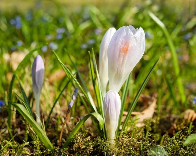 éppen kibújó tavaszi sáfrány